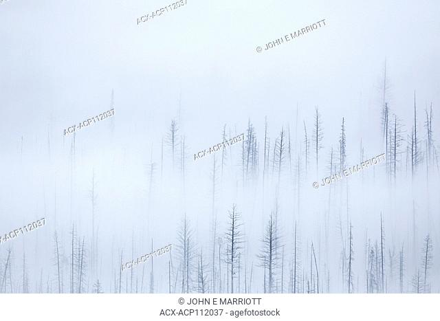Burnt forest in fog, on British Columbia hillside, Canada