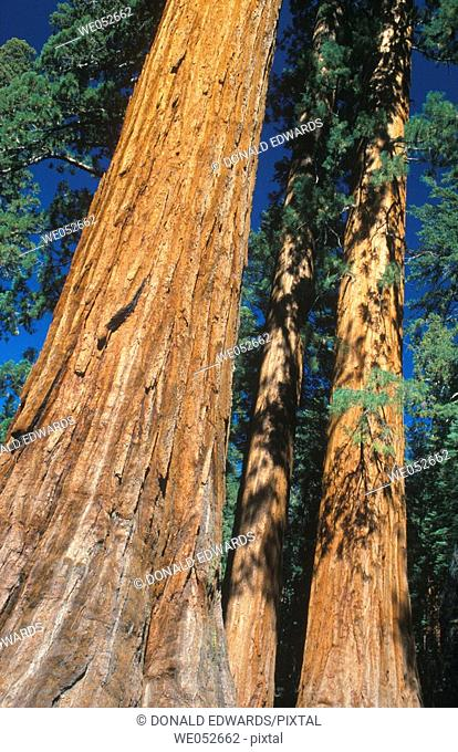 Giant Sequoia, Mariposa Grove, Yosemite NP, California