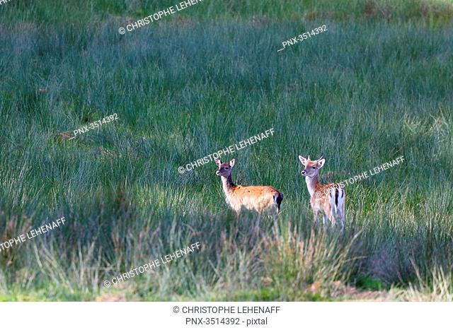 France, Burgundy, Yonne. Area of Saint Fargeau and Boutissaint. Young stags (fawn on the left and daguet on the right) in a meadow