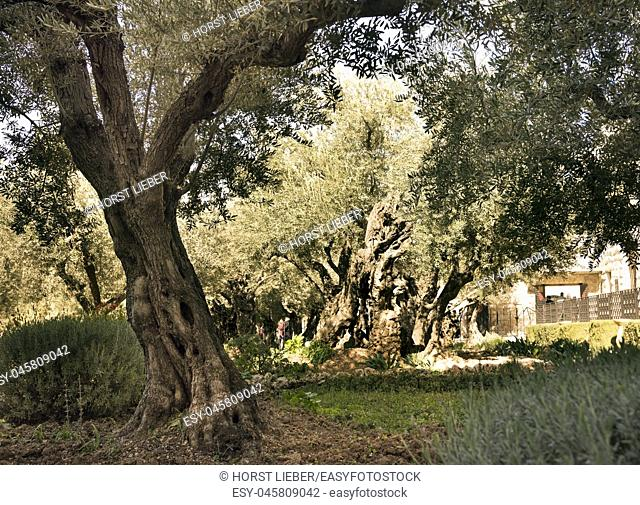 Olive trees (Olea europaea) in the garden of Gethsemane, Mount of Olives, Jerusalem, Israel, Middle East