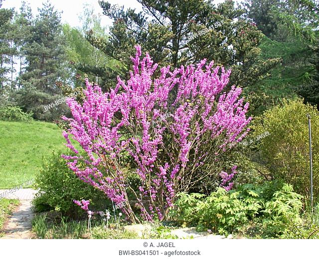Chinese Redbud (Cercis chinensis), blooming