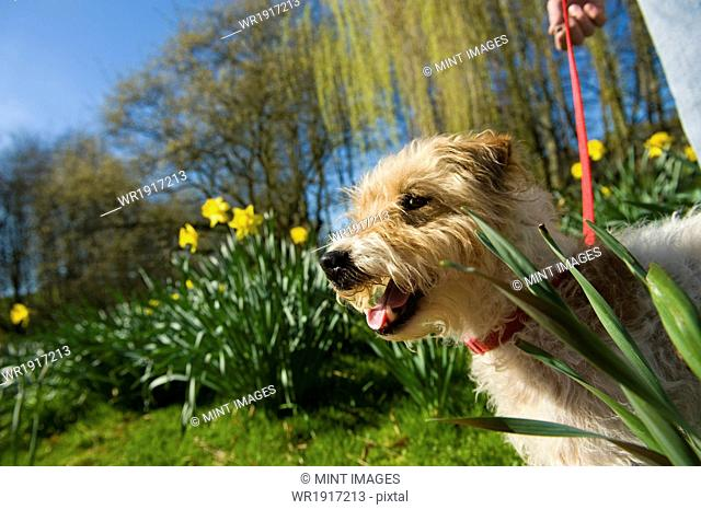 A woman and a small dog in a garden with trees in fresh leaf, and daffodils flowering