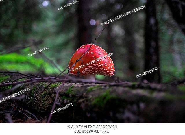 Fly agaric mushroom (Amanita muscaria) growing in rural setting, close-up