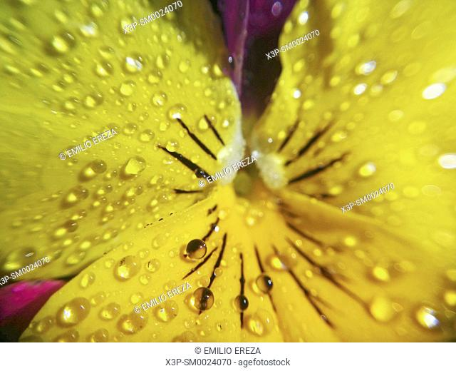 Pansy with droplets