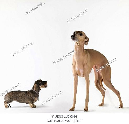 Small dog looking up at tall dog