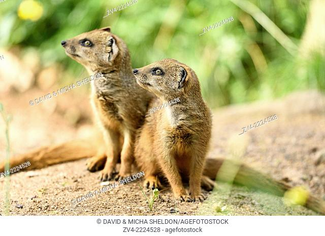 Yellow mongoose (Cynictis penicillata) youngsters outdoors
