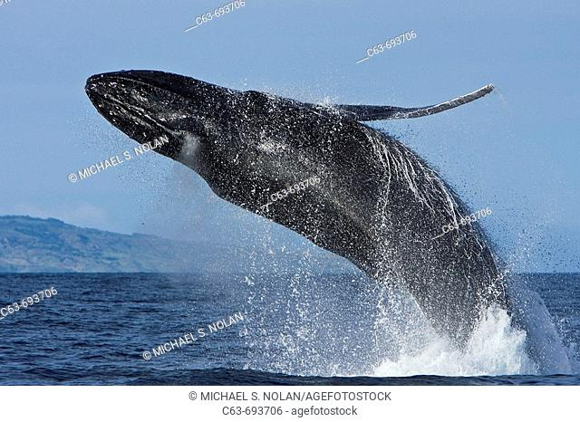 Adult humpback whale (Megaptera novaeangliae) breaching in the AuAu Channel between the islands of Maui and Lanai, Hawaii, USA