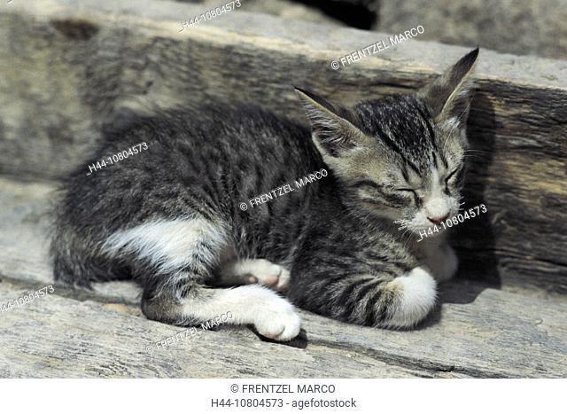 animal, animals, Cat, kitten, new, pet, recumbent, lie, lying, stripy, young, young animal