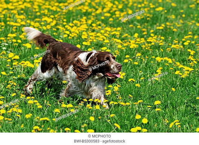 English Springer Spaniel (Canis lupus f. familiaris), running in dandelion meadow , Germany
