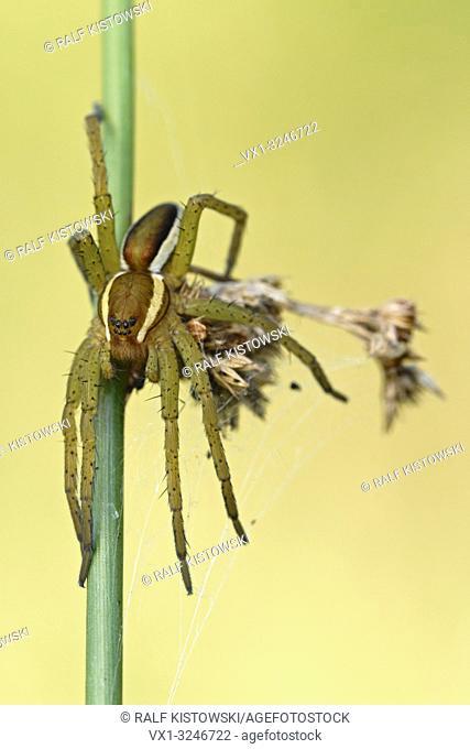 Raft Spider / Gerandete Jagdspinne ( Dolomedes fimbriatus ) resting, hunting on a rush stem, clean background, detailed shot