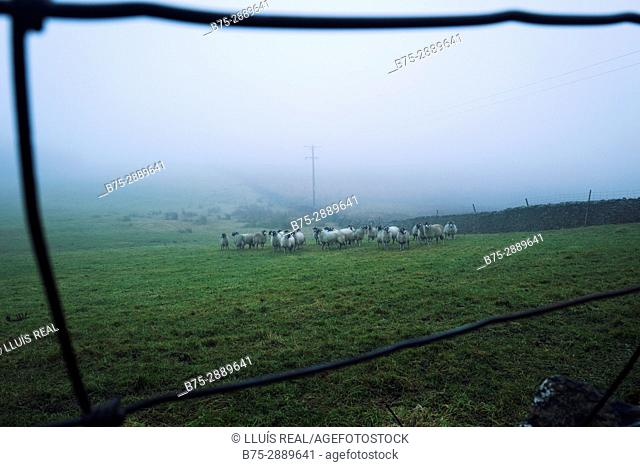 Flock of sheep in farm. Settal, Craven, North Yorkshire, Yorkshire Dales, England, UK
