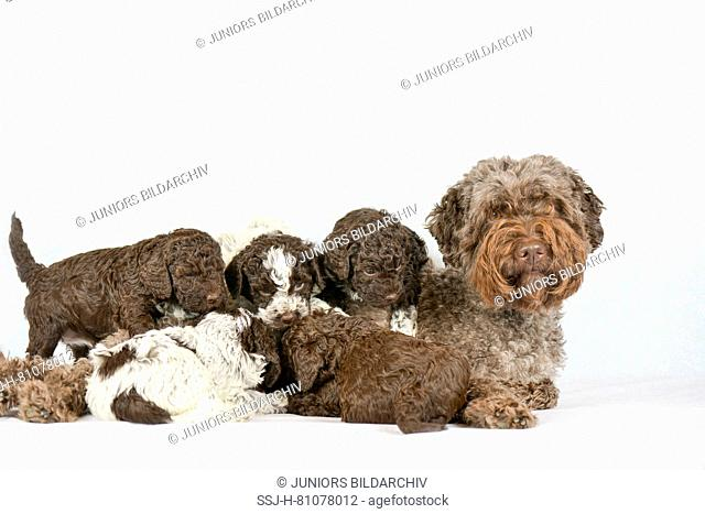 Lagotto Romagnolo. Mother with puppies (5 weeks old). Studio picture against a white background. Germany