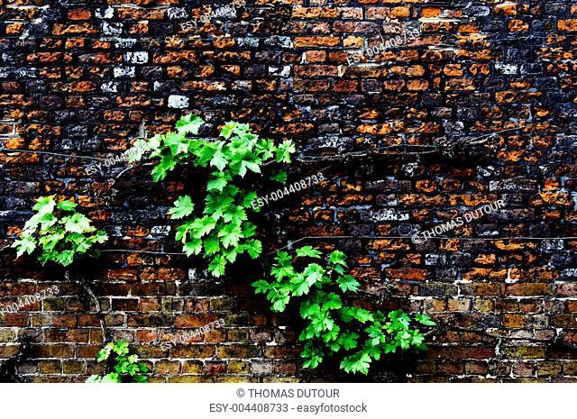 Virginia creeper on a brick wall