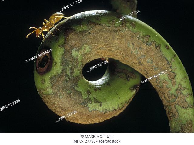 ANT (Colobopsis sp.) ON TENDRIL OF HOST PITCHER PLANT (Nepenthes villosa), A SYMBIOTIC RELATIONSHIP WHEREIN THE ANTS HELP HOST DIGEST INSECTS IN EXCHANGE FOR...