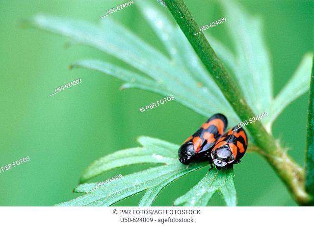 Froghopper, Cercopis vulnerata, Homoptera: Cercopidae, 2004, Bonn, Germany