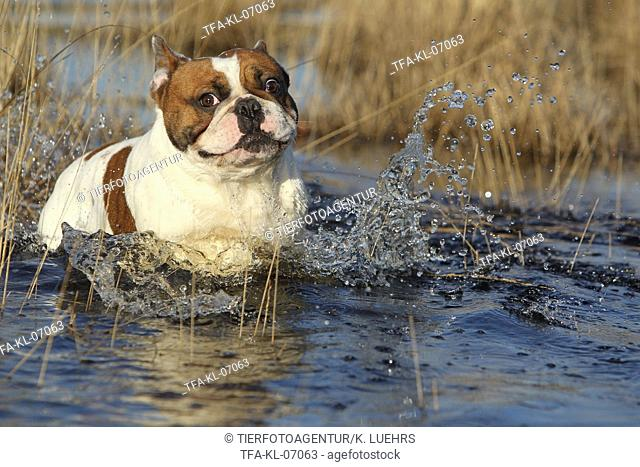 swimming French Bulldog