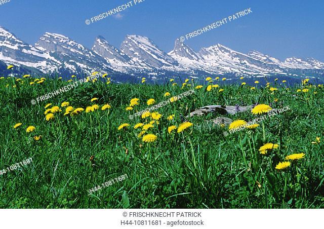 alpine, Alps, broadness, Churfirsten, dandelion, east Switzerland, Europe, flora, flower, flowers, Gamplut, mountain