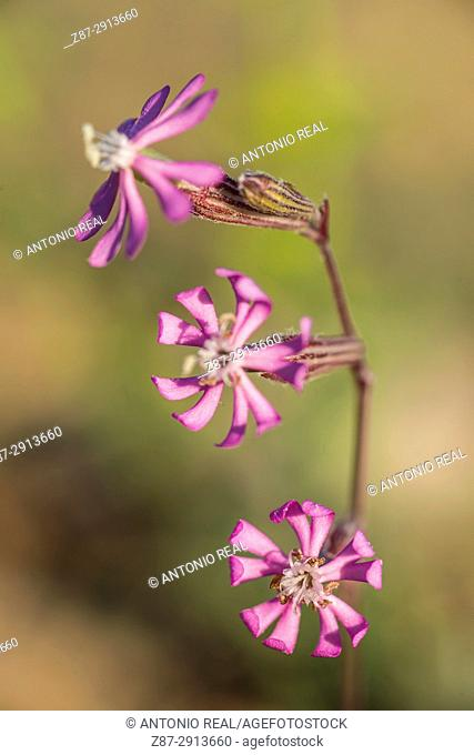 Flowers (Silene colorata). Almansa. Albacete. Spain