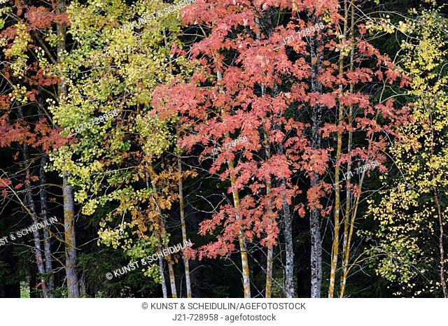 Yellow birches (Betula sp.) and rowan trees (or mountain ash) (Sorbus aucuparia) with red leaves in autumn. Västernorrland, Norrland, Sweden, Scandinavia