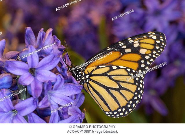 Monarch butterfly, Danaus plexippus, feeds on hyacinth blossom