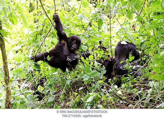 Young Mountain gorilla swinging on liana in forest (Gorilla beringei beringei) Virunga National Park, Democratic Republic of Congo, Africa