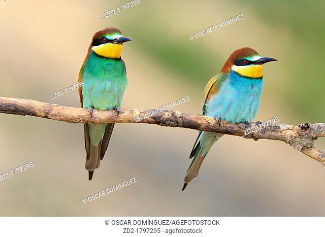 European Bee-eater Merops apiaster pair perched on branch  Lleida  Catalonia  Spain