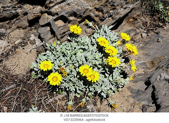 Treasure flower (Gazania rigens or Gazania splendens) is a perennial herb (in temperate regions) native to southern Africa