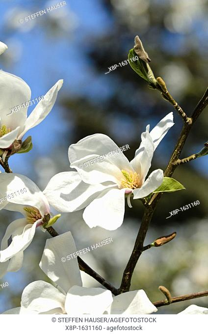 Star magnolia Magnolia stellata 'Rosea'