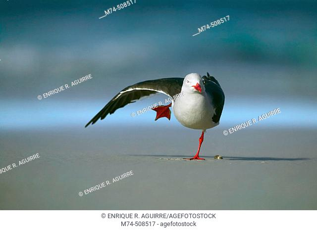 Dolphin gull (Larus scoresbii). Falkland Islands, South Atlantic