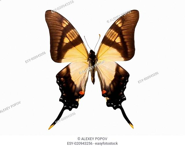 Butterfly Eurytides serville