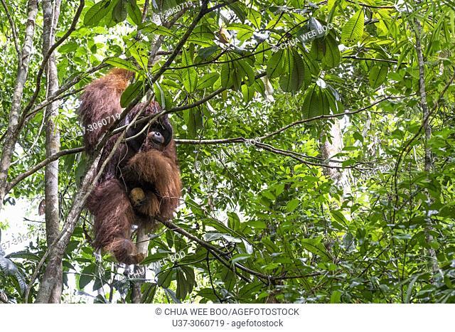 Anuar lives in Semengoh Wildlife Centre, Kuching, Sarawak, Malaysia