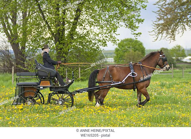 Woman coaching a horse-drawn carriage on a meadow in Bornheim near Bonn, Germany