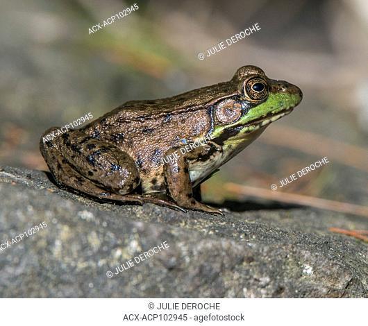 Green Frog, Ontario, Canada