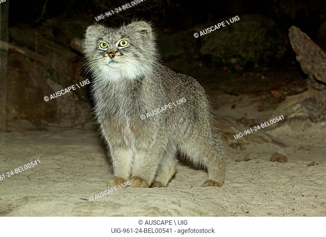 Pallas cat, Otocolobus manul, at night. Khar Turan National Park, Semnan Province, Iran. (Photo by: Auscape/UIG)