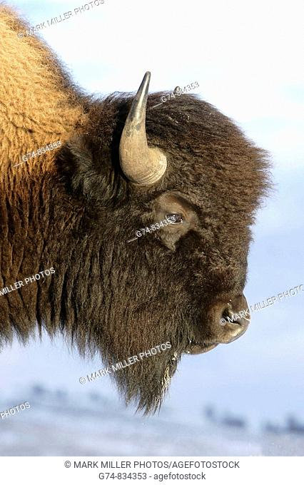 A profile portrait of an American Bison, also known as buffalo