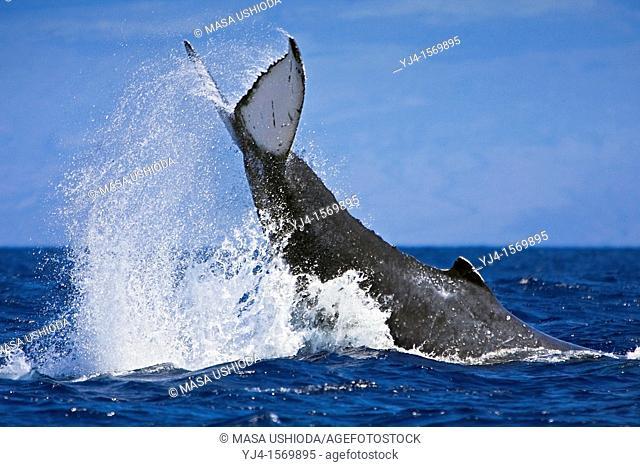 humpback whale, Megaptera novaeangliae, displaying aggressive caudal peduncle throw behavior, Hawaii, USA, Pacific Ocean