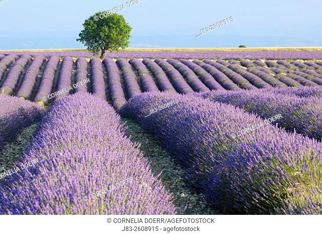 Rows of Lavender field (Lavendula augustifolia) and tree in background, Valensole, Plateau de Valensole, Alpes-de-Haute-Provence, Provence-Alpes-Cote d'Azur