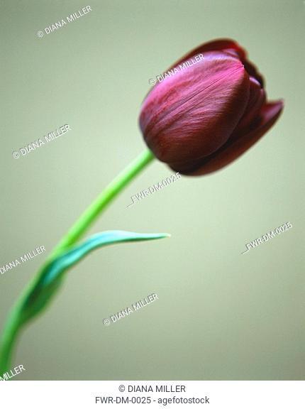 Tulipa 'Queen of theNight', Tulip