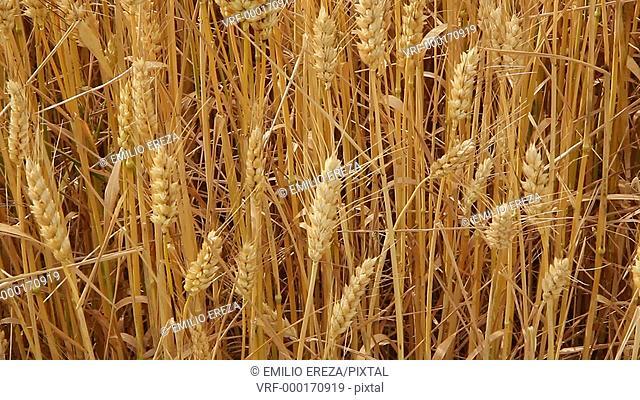 Wheat. Lleida, Catalonia, Spain