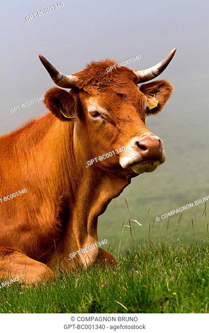 LIMOUSIN COW, ESTIVE, HAUTES-PYRENEES (65), FRANCE
