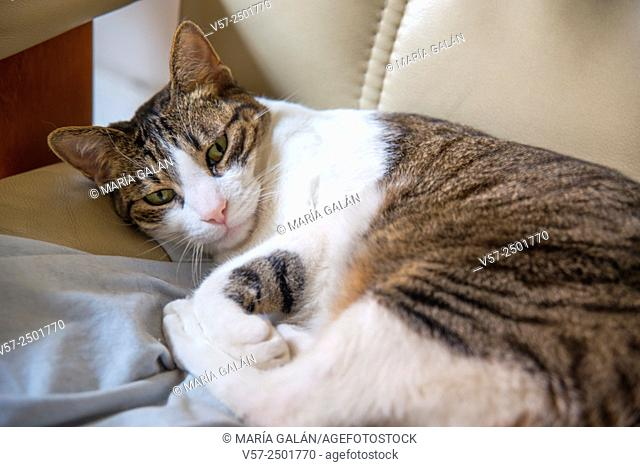 Sleepy tabby and white cat lying in an armchair. Close view