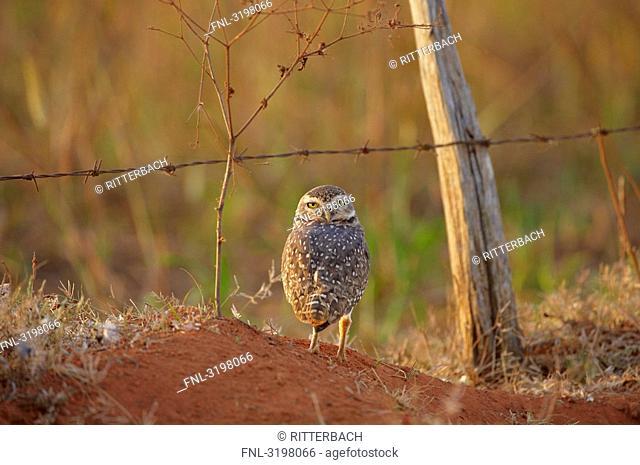 Burrowing Owl Athene cunicularia, Mato Grosso, Brazil, eye contact