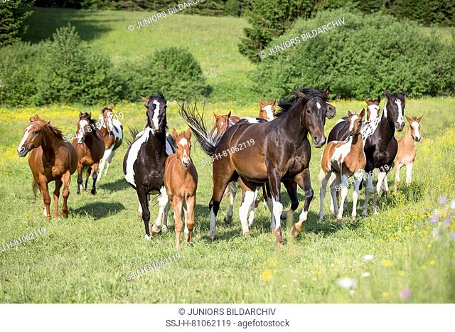 American Paint Horse. Mares with foals galopping on a pasture. Austria