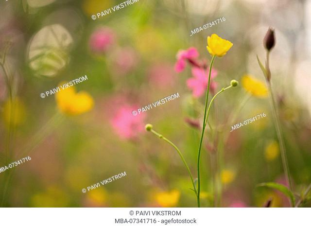Multicolored Meadow Flowers, blurred outdoor background