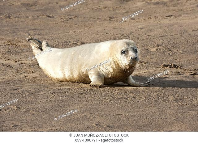 Donna Nook. Grey Seal. Halichoerus grypus. Lincolnshire. UK. Europe