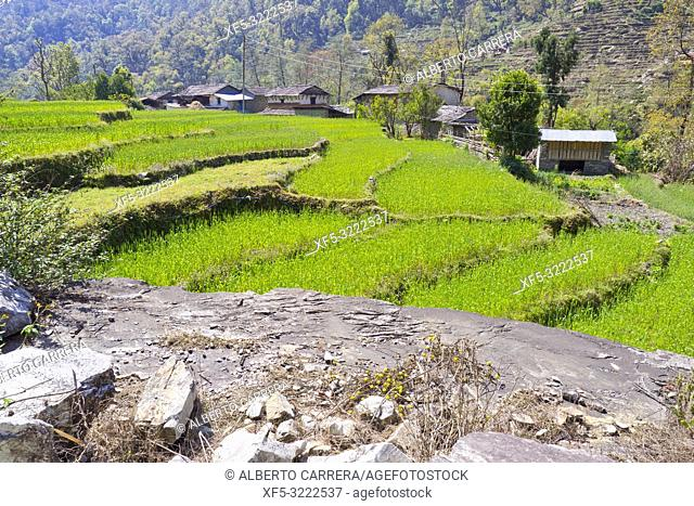 Agricultural Landscape, Terrace Cultivations, Trek to Annapurna Base Camp, Annapurna Conservation Area, Himalaya, Nepal, Asia