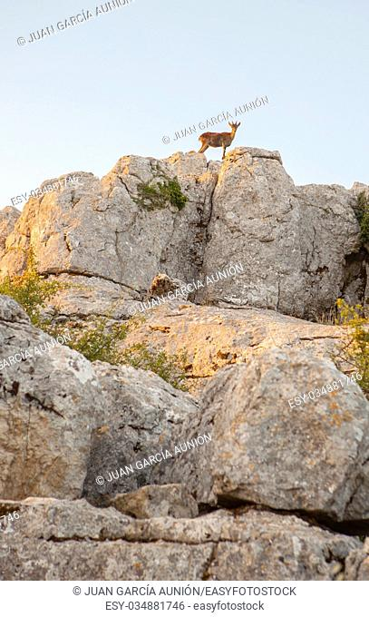 Wild goat on the rocks of La Sierra Del Torcal de Antequera National Park, Malaga, Spain