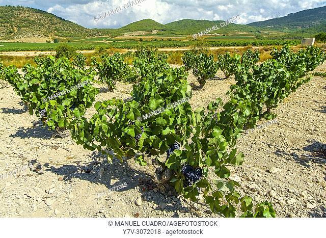 Vineyards. Bodega Balona, D.O. Bullas, Comunidad autónoma de la Región de Murcia, Spain