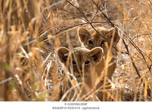Serengeti National Park. Lion cubs (Panthera leo). Tanzania