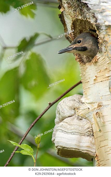 Northern flicker (Colaptes auratus) Young in birch tree nest cavity, Wanup, Ontario, Canada